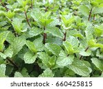 mint leaves in the organic farm.... | Shutterstock . vector #660425815