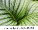 beautiful green calathea... | Shutterstock . vector #660443731