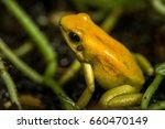 a golden poison frog or golden... | Shutterstock . vector #660470149