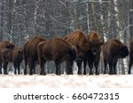 A Herd Of European Bison  On...