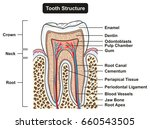 tooth cross section anatomy... | Shutterstock .eps vector #660543505