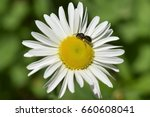 White Daisy With Flying Insect