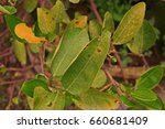 Small photo of lime canker,lime leaf disease