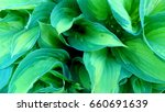 Green Decorative Hosta Leaves