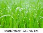 fresh grass with dew drops...   Shutterstock . vector #660732121