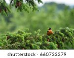 American Robin Sitting On An...