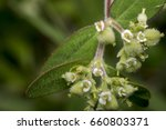 Small photo of Tiny circaea nightshade enchanter flowers in the wild