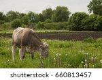 cow grazing in a meadow | Shutterstock . vector #660813457