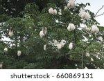 fresh ceiba pods on tree  white ... | Shutterstock . vector #660869131