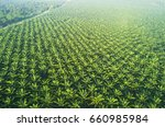 Arial View Of Palm Plantation...