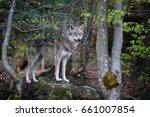 close up photo eurasian wolf ... | Shutterstock . vector #661007854