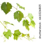 set of green grapevine twig...