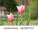 pair of pink tulips on farm in... | Shutterstock . vector #661047271