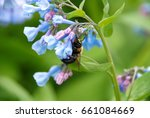 bumblebee on virginia bluebells | Shutterstock . vector #661084669