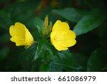 pretty evening primrose buds... | Shutterstock . vector #661086979