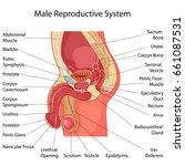 education chart of biology for... | Shutterstock .eps vector #661087531