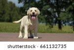 Stock photo yellow labrador pet puppy 661132735