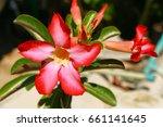 desert rose   Shutterstock . vector #661141645