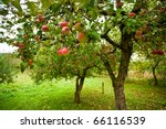 Trees With Red Apples In An...