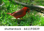Small photo of Male Cardinal Cardinal