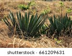agave filifera in the field | Shutterstock . vector #661209631