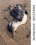A Dead Guillemot Bird Washed U...