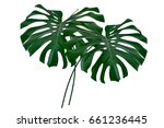 green leaf of a tropical flower ... | Shutterstock . vector #661236445