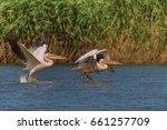 white pelicans  pelecanus...   Shutterstock . vector #661257709