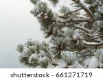 Snow Covered Evergreen Branche...
