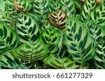 peacock plants  calathea... | Shutterstock . vector #661277329