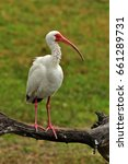 Small photo of American white ibis perched on a log fishing in a pond