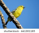 Small photo of Common iora (Aegithina tiphia), little yellow bird