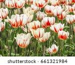 tulips bloom bright colors. | Shutterstock . vector #661321984
