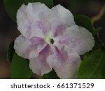 Close Up Of Brunfelsia Flower....