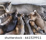 Stock photo a mother cat feeding her litter of kittens at wat arun temple bangkok thailand 661529911