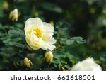 Stock photo blooming bush of a white rose white rose background 661618501