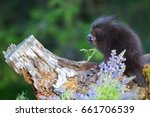 baby porcupine smelling a flower | Shutterstock . vector #661706539