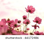 Cosmos Flowers In Blooming With ...