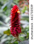 Small photo of Alpinia purpurata, red ginger, also called ostrich plume and pink cone ginger. They look like the bloom, but the true flower is the small white flower on top.