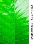 Small photo of Leafs of Alocasia , greenery background , stripes light and shadow , green leaf texture of a plant close up
