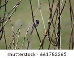 Small photo of Codirosso Spazzacamino; Phoenicurus ochuros; Passeriformes Turdidae; sparrow white wagtail