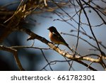 Small photo of Codirosso Spazzacamino; Phoenicurus ochuros; Passeriformes Turdidae; sparrow