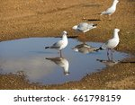 Small photo of Some beautiful seagulls seabirds of the family Laridae in the sub-order Lari reflected in the muddy puddle are enjoying a cool sip of water in the parking area on a spring morning.