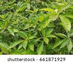 green leaf texture   Shutterstock . vector #661871929