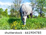 grey horse grazing in summer... | Shutterstock . vector #661904785