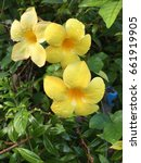 Small photo of Yellow Allamanda flower