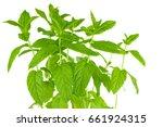 bunch of fresh green mint... | Shutterstock . vector #661924315