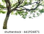maple tree on white background  ... | Shutterstock . vector #661926871