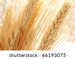 Golden wheat spikes backlit with natural sunlight.  Macro with shallow dof. - stock photo