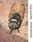 Small photo of Green and white spotted Cicada beetle (Cicadidae), Kruger National Park, South Africa